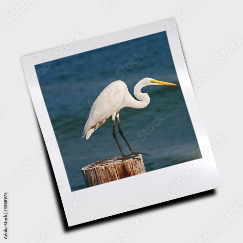 Great Egret pictured in Polaroid slide