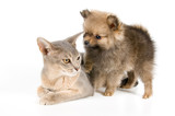 Cat of Abyssinian breed and the puppy of the spitz-dog poster