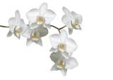 Weiße Orchideé - 3973103