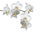 Fototapety Weiße Orchideé
