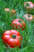 Tomates en hierba