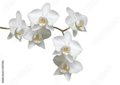 kwiaty-bialej-orchidei