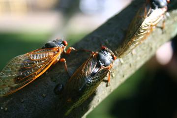 Cicadas on Branch 2