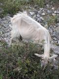 dalmatian goat poster