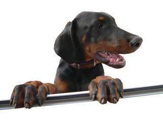 Doberman jumping in window - he was a nice dog