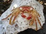 Spooky Hawaiian Crab poster