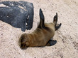 A Silly Sea Lion Pup Lounges on the Beach