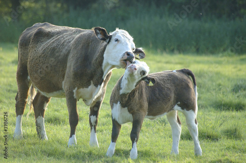 cow mother licking baby
