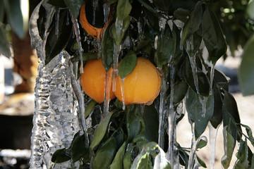Orange Groves In Ice