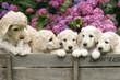 roleta: Labradoodle Pupies