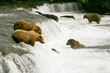 Grizzly bears fishing for salmon, Katmai NP, Alaska