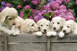 Fototapety Labradoodle Pupies