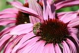 honey bee collecting pollen poster