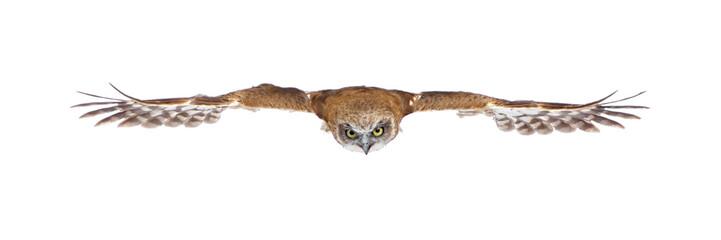 New Zealand owl (3 years)