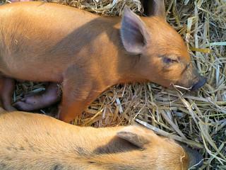 sleeping piglets