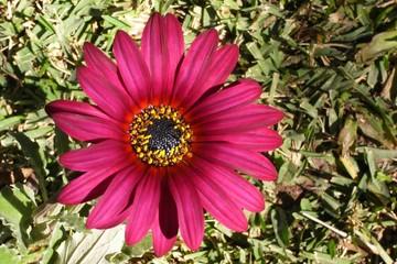 gazania beetroot color.