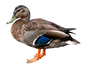 Female Mallard Duck with Clipping path