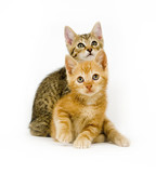 Two kittens looking straight ahead poster