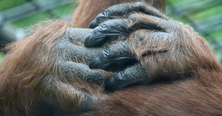 Affenhände