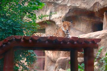 leopard woke up