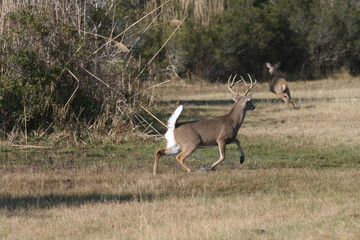 Whitetail Buck Chasing Doe
