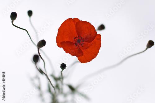 czerwony-kwiat-maku