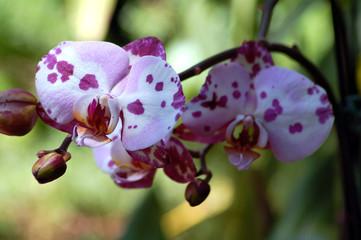 Orchid Flower Phalaenopsis schilleriana