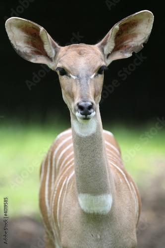 Staande foto Antilope Kleiner Kudu