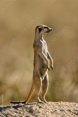 Leinwanddruck Bild Suricate (meerkat)