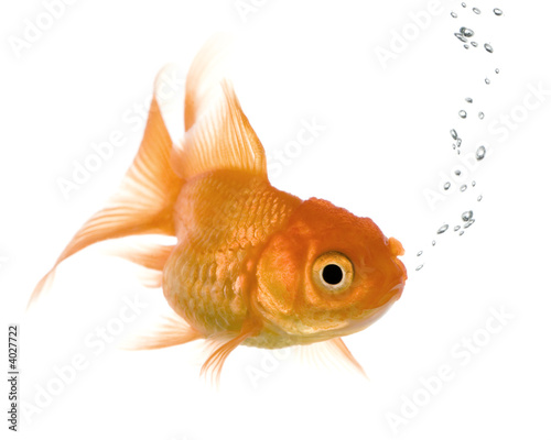 Goldfish in front of a white background.
