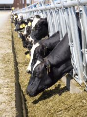 vacas 2689