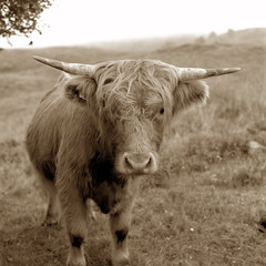 Highland Cow of Scotland with sepia tone
