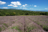 Lavender fields in Provence, southern France poster