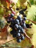 sick grapes poster