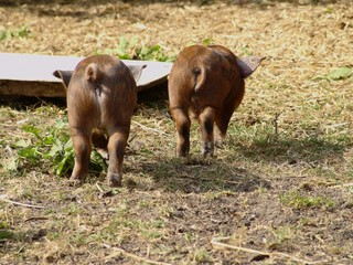 pigs backends