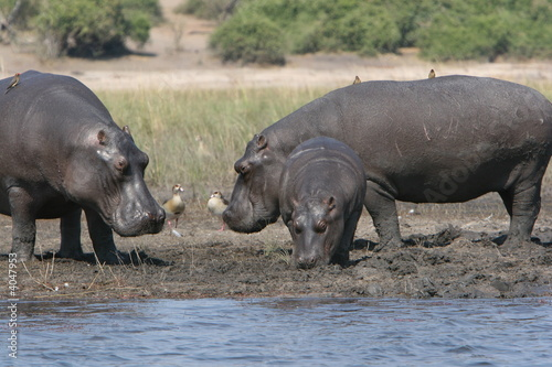 Hyppos on Chobe River