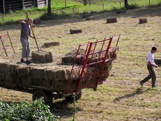 1497 - Agriculture, ramassage du foin,