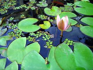 Aqua plant: water lily