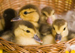 Small ducks in a basket