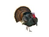 Turkey Tom strutting his stuff poster