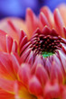 Closeup of dahlia