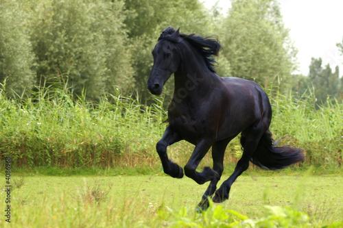 fototapeta na ścianę Koń fryzyjski
