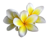 Fleur de frangipanier - 4087121