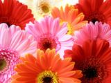 colorful gerbera petals - 4087156