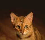 Portrait of brown bengal cat poster