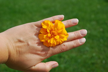 French tagetes on the hand