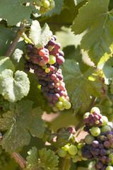 pino noir grapes in the sun