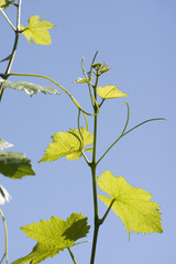 Young grapevine in the sun