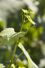 Young wine grapes -promise of a great vintage