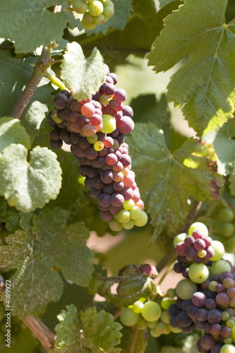 pino noir grapes in the sun